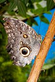 stock photo of cocoon tree  - Giant Caligo oileus the Oileus Giant Owl butterfly amazonian rainforest  - JPG