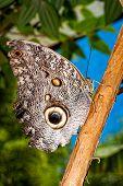 stock photo of cocoon tree  - Giant Caligo oileus the Oileus Giant Owl butterfly amazonian rainforest  - JPG