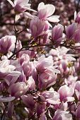 stock photo of magnolia  - Close up: Blooming of a Magnolia Tree