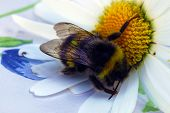 foto of bumble bee  - A bumble bee resting on a daisy - JPG