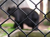image of caged  - Black big bear in the zoo cage - JPG