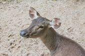 stock photo of deer rack  - close up head of female deer in public zoo - JPG