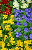 stock photo of primrose  - Colorful winter primrose flowers in the garden - JPG