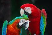 stock photo of harlequin  - Beautiful parrot bird Greenwinged Macaw and Harlequin Macaw in portrait profile