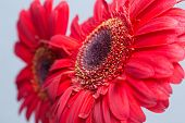image of gerbera daisy  - Gerbera Attention: red Gerbera Daisies on a gray background