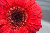 picture of gerbera daisy  - Gerbera Attention - JPG