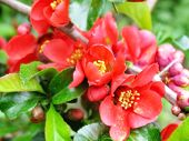 stock photo of barberry  - Red flowers of barberry - JPG