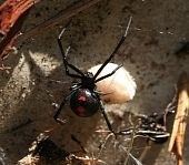 stock photo of black widow spider  - a black widow spidere with her cocoon filled with hundreds of eggs - JPG