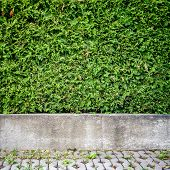 foto of basement  - Green arbour hedge with concrete basement background - JPG