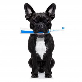 stock photo of bulldog  - french bulldog dog holding electric toothbrush with mouth isolated on white background - JPG