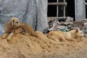 stock photo of sad dog  - two sad Thai local dogs on sand pile construction - JPG