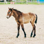 foto of foal  - Portrait Of Brown Foal Young Horse - JPG