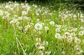pic of dandelion  - Field of white fluffy dandelions white dandelions on green natural background - JPG
