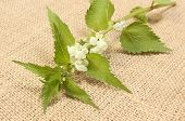foto of sting  - Fresh stinging nettles with white flowers lying on jute canvas - JPG