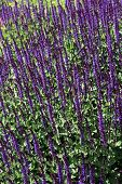 image of clary  - View of Salvia nemorosa in the park - JPG