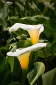 pic of calla lily  - Two white Calla Lilies in vertical macro close - JPG