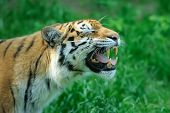 stock photo of tigress  - Amur Tigers on a geass in summer day - JPG