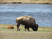 foto of calves  - Yellowstone bison eating breakfast with their calf - JPG