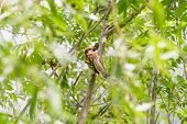 picture of sun perch  - A sparrow perched on an acacia branch under the warm spring sun - JPG