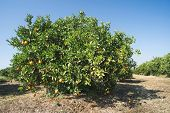 stock photo of orange-tree  - Orange trees in plantation - JPG