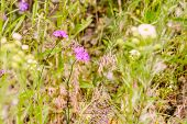 image of angiosperms  - Wild pink Deptford Pink or Dianthus Armeria in a green meadow under the warm spring sun - JPG