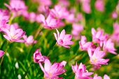 picture of lily  - Zephyranthes Lily, Rain Lily, Fairy Lily, Little Witches in the morning. ** Note: Shallow depth of field - JPG