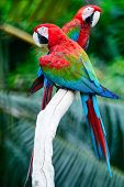 stock photo of parrots  - Beautiful parrot bird Greenwinged Macaw standing on the log back profile - JPG