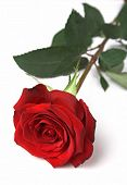 stock photo of red rose  - one rich red rose closeup on a white background - JPG