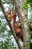 stock photo of gunung  - Female orangutan with a baby hanging on a tree in Gunung Leuser National Park - JPG