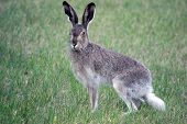 ������, ������: Snowshoe Hare