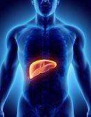 Постер, плакат: 3D Illustration Of Liver