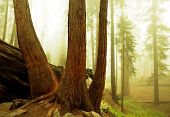 image of sequoia-trees  - sequoias - JPG