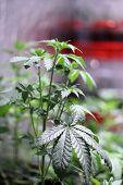 Marijuana plants. Marijuana farming. prop. 64.  Marijuana Flower Close Up.  poster