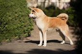 Cute Canine Breed Japanese Akita Inu Portrait poster