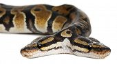 stock photo of python  - Close - JPG