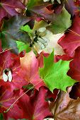 picture of canada maple leaf  - on an autumn day - JPG