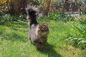 Brown Tabby Siberian Pedigree Cat With Lead, Stroll In The Front Garden On Sunny Spring Day poster