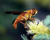 An Orange Fuzzy Hoverfly Native To Arizona, Feeding On A Mesquite Tree Flower. Hoverflies Are Nectar poster