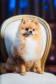 A Cute Pomeranian Dog With Red Hair Like A Fox Lounging On The Chair poster