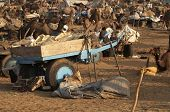 image of camel-cart  - Camel cart surrounded by camels and other camel carts at Pushkar Camel Fair Rajasthan India - JPG
