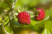 Wild Strawberry In Sunny Day poster
