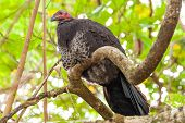 Brushturkey Perching On A Tree Branch Under Green Canopy poster