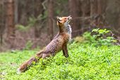 Jumping Red Fox. Running Red Fox, Vulpes Vulpes, At Green Forest. Wildlife Scene From Europe. Orange poster