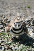 picture of killdeer  - This mother killdeer is guarding her nest from the world - JPG