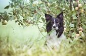 Dog Under The Apple Tree. Black And White Border Collie Waiting In Orchard. poster