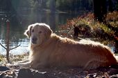 The Golden Retriever Dog Lies On The Shore Of A Forest Lake And Looks Into The Camera, Red Hair Is H poster