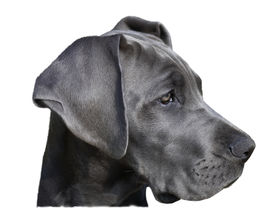 picture of great dane  - Portrait of a young great dane - JPG