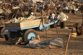 foto of camel-cart  - Camel cart surrounded by camels and other camel carts at Pushkar Camel Fair Rajasthan India - JPG