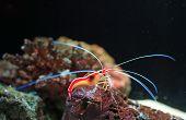 Cleaner Shrimp (lysmata Amboinensis Shrimp) In Aquarium Tank. poster