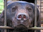 Sad Bear In Animal Cage. Carpathian Bear Captivity In Animal Zoo Behind Cage Bars. Portrait Of Brown poster